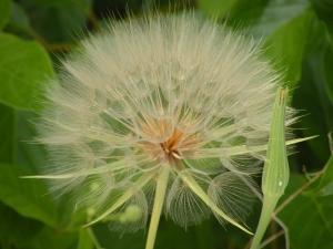 rsz_puff dandelion  normail