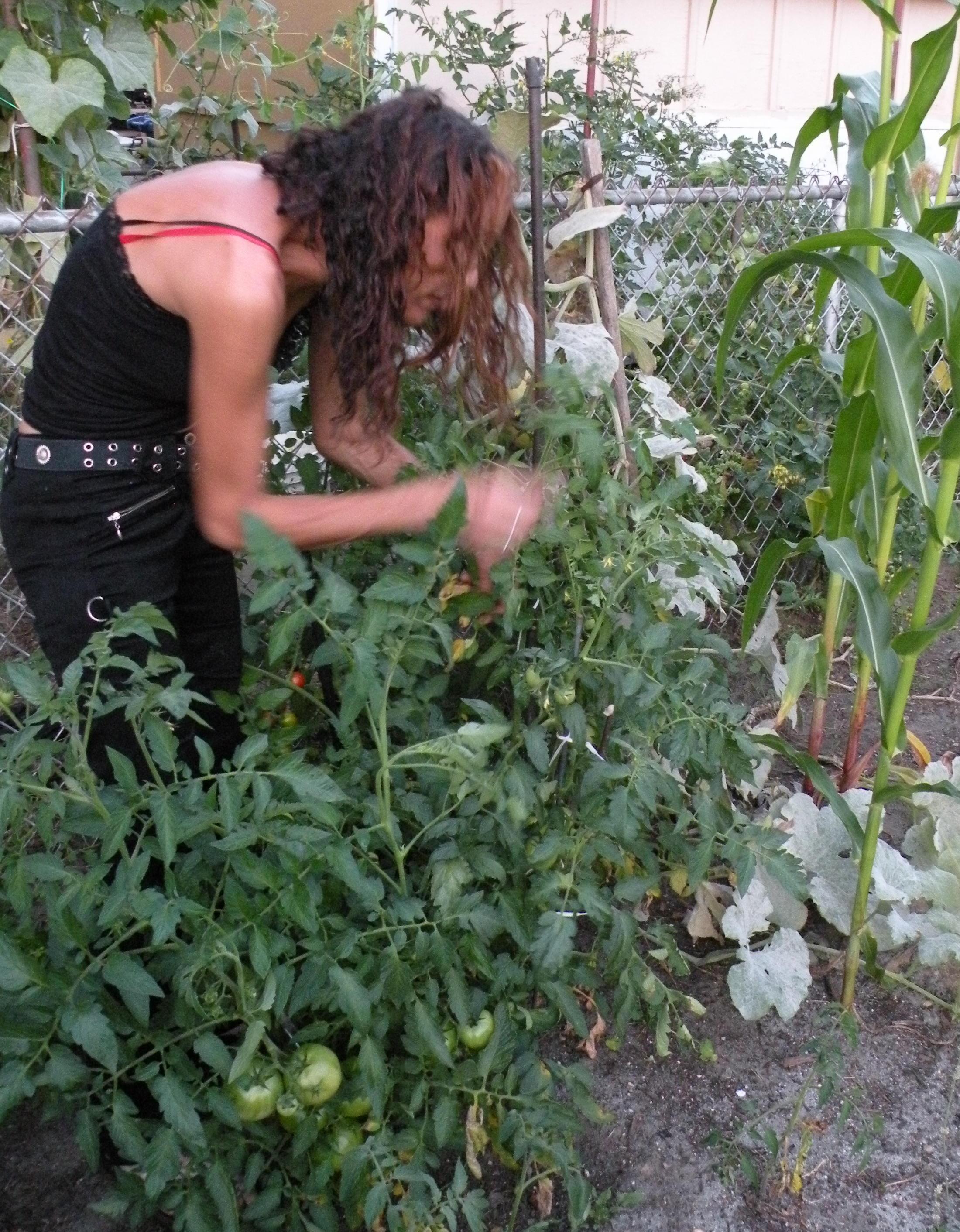 inspecting my tomatoe plants